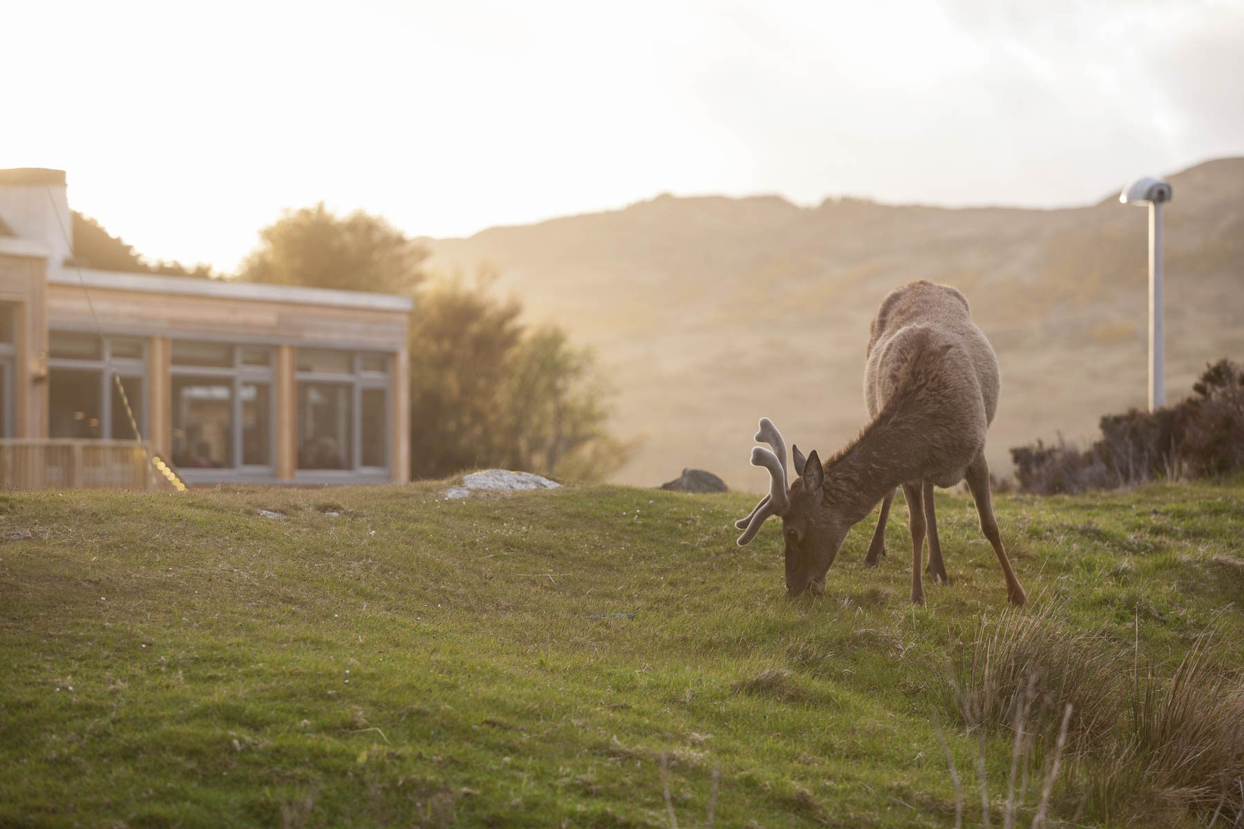 Red deer stag at Kylesku Hotel, Scotland