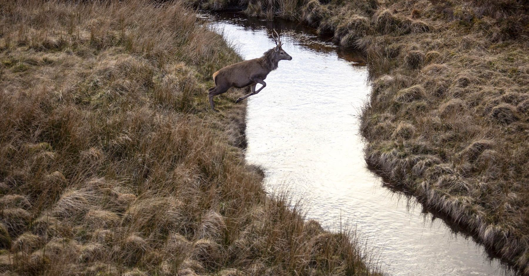 Leaping stag, Assynt, Sutherland, Scottish Highlands