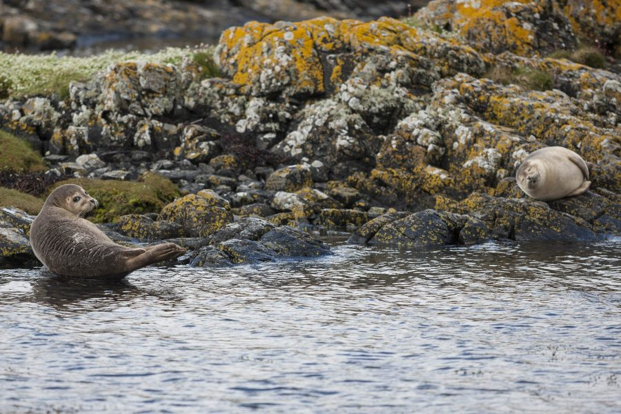 Harbour seals from the water, Loch Gleann Dubh, Sutherland