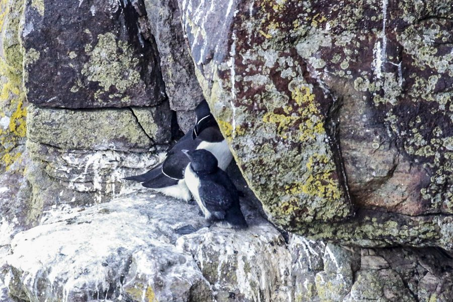 Razorbill and chick, sea bird colony, Sutherland